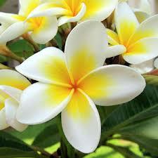 Tanaman bunga kamboja